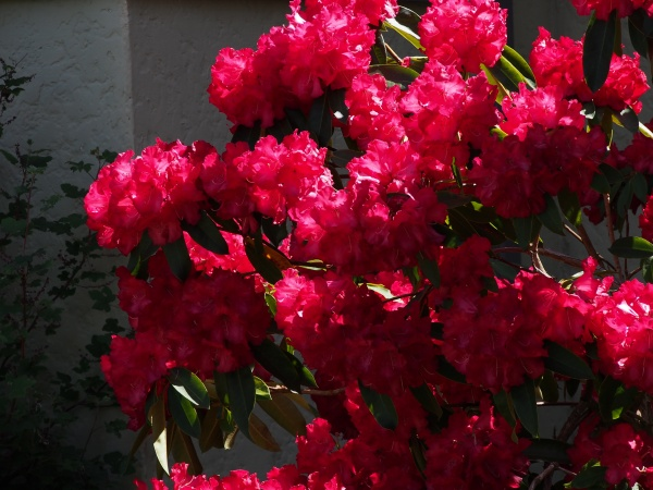 The glorious rhododendrons. Second only to India