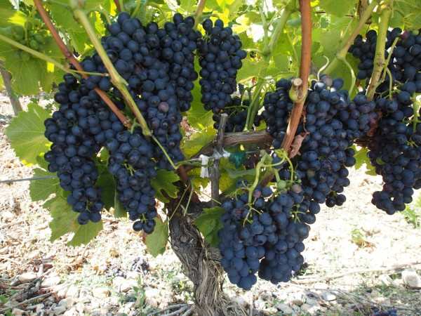 Corbiers grape. It's almost the season for picking grapes. Should we stay in France?