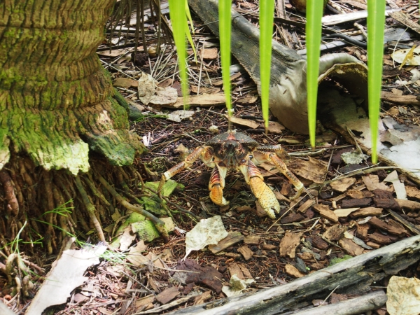 Coconut crabs abound on the islands as there is no resident population.  Coconut crabs can grow to 1 metre in length and live as long as 60 years