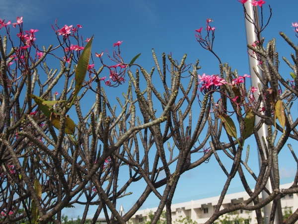 Gorgeous blue sky with frangipani flowers (plumeria rubra)