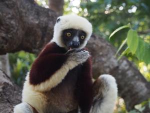 Our favourite lemur
