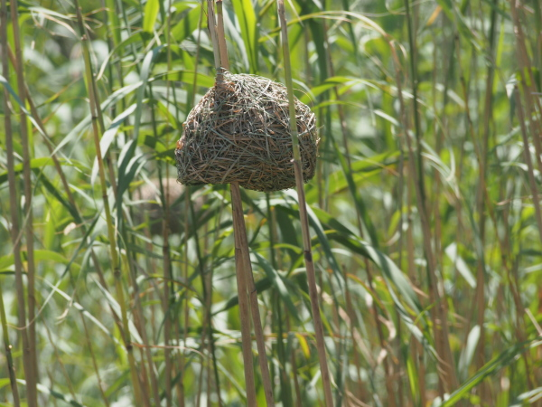 Along the edge of the water in the wetlands birds build their nests