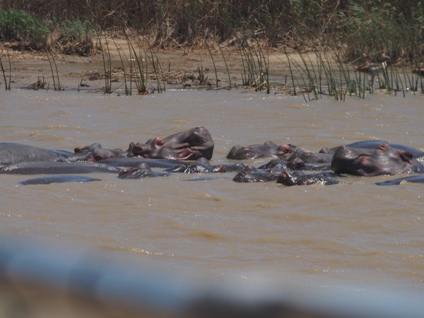 Hippos generally lie around in the water all day and then forage at night.
