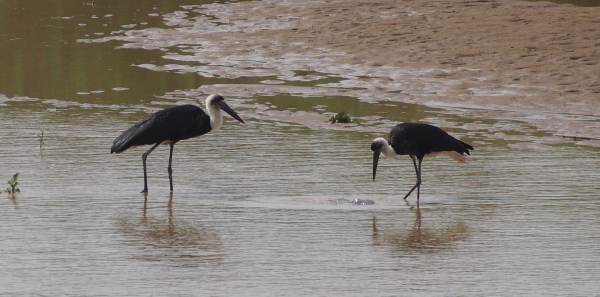 And great water birds