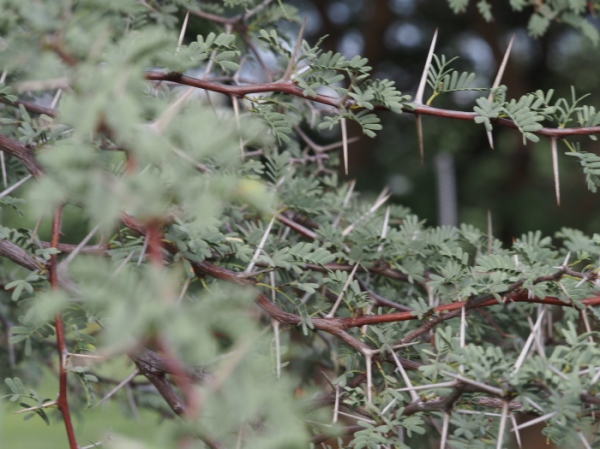 Camethorn