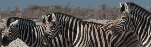 Zebra x 3