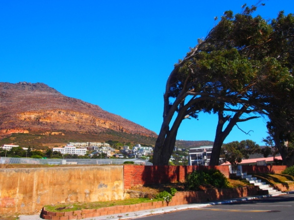 Wiind bent trees in Simon's Town
