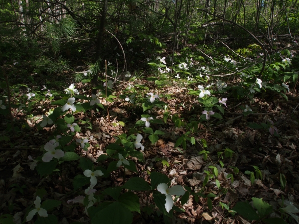 Ontario's emblem - the trillium in its full glory under the forest canopy