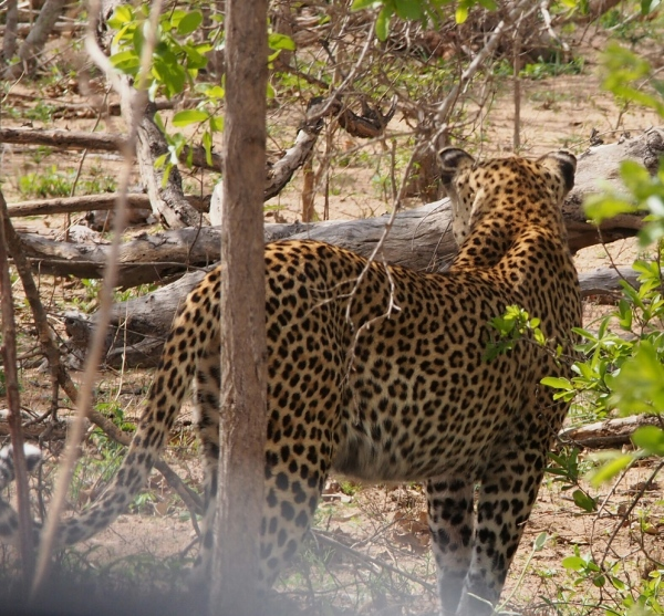 We saw 2 leopards on our visit. Was very hard to get a good shot as didn't want to lower the window. Magnificent