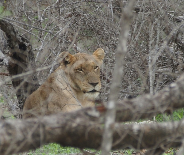 The lioness sits and relaxes while the male eats his fill.  The other 8 lions/cubs were also sitting around the periphery