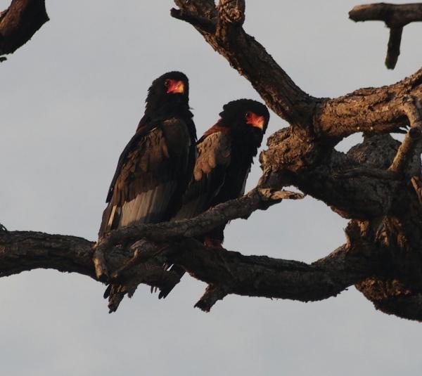 Bataleur eagles - terathopius ecadautus