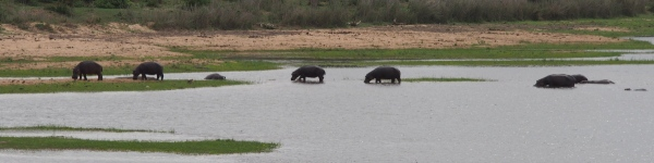 Family of hippos cross the river