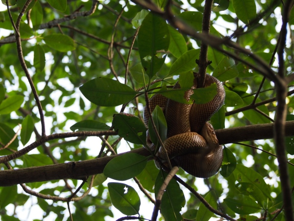 Just one of the snakes sleeping in the branches above the boat